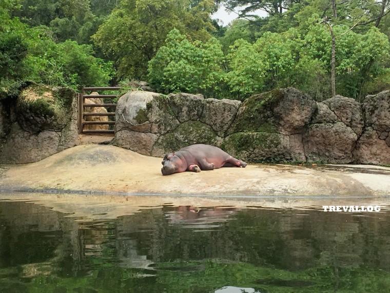 Hippopotamus at Taman Safari, Bogor, Indonesia
