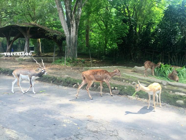 Deer at Taman Safari, Bogor, Indonesia