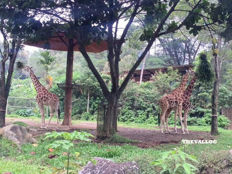 Giraffes at Taman Safari, Bogor, Indonesia