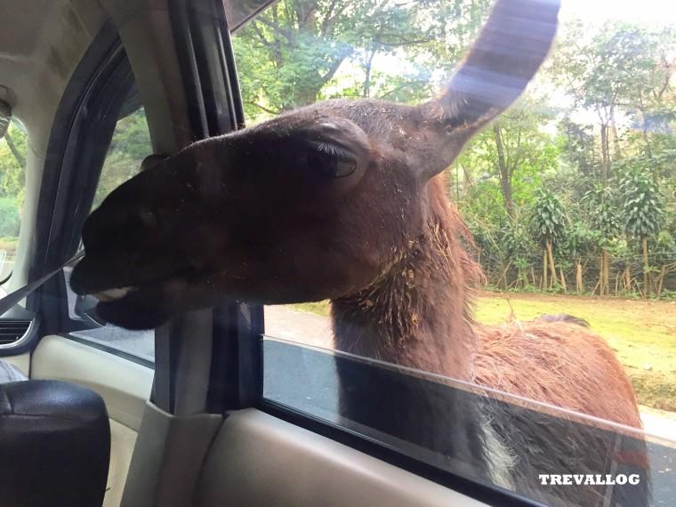at Taman Safari, Bogor, Indonesia