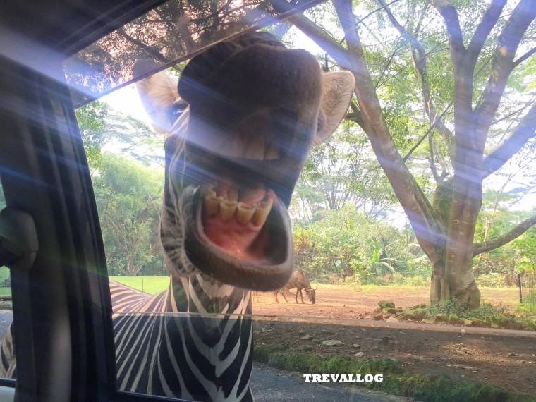 Zebra at Taman Safari, Bogor, Indonesia