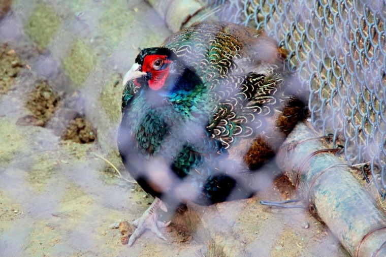 Colorful chicken at National Zoological Park at New Delhi, India