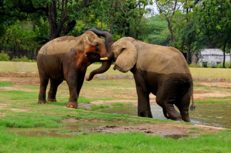 Elephant affection at National Zoological Park at New Delhi, India