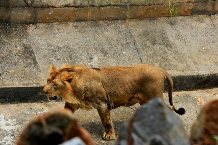 Lion at National Zoological Park at New Delhi, India