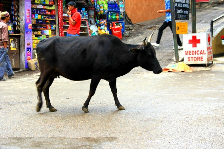 Cow at McLeod Ganj, Dharamsala, India