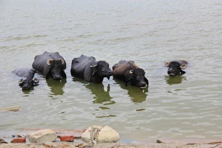Cows dipping, Varanasi, India