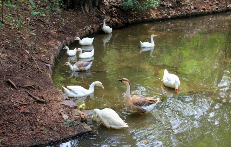 Ducks and a duckling at National Zoological Park at New Delhi, India