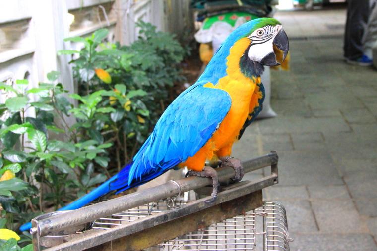 Blue parrot, Yuen Po Street Bird Garden, Hong Kong
