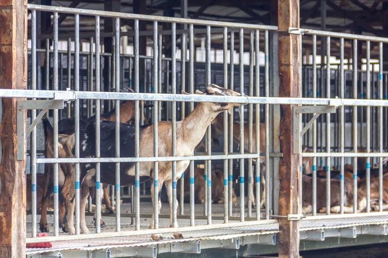 Feeding and petting goats at Hay Dairies Goat Farm, Kranji Countryside, Singapore