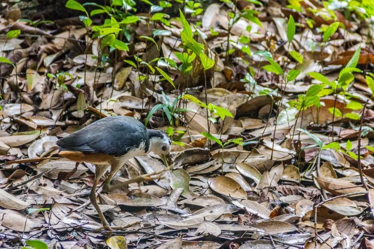 Bird at Migratory Bird Trail, Sungei Buloh Wetland Reserve, Kranji Countryside, Singapore