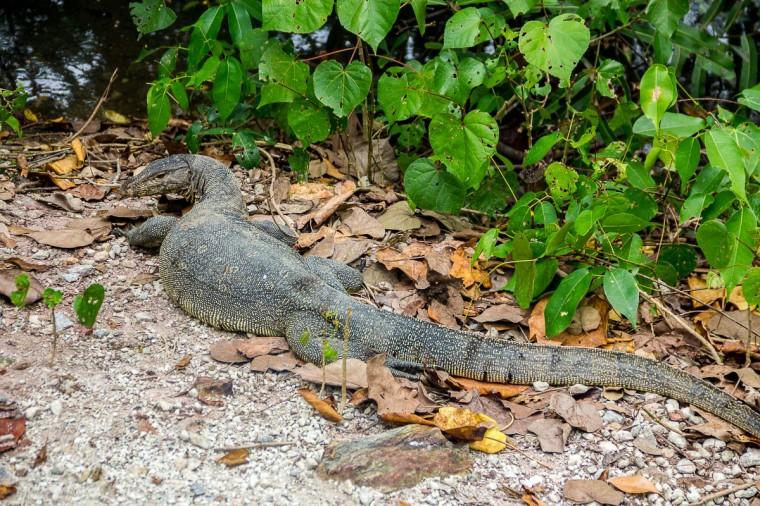 Monitor lizard at Migratory Bird Trail, Sungei Buloh Wetland Reserve, Kranji Countryside, Singapore