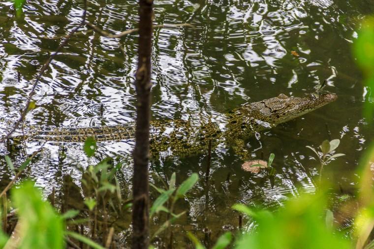 Crocodile at Migratory Bird Trail, Sungei Buloh Wetland Reserve, Kranji Countryside, Singapore
