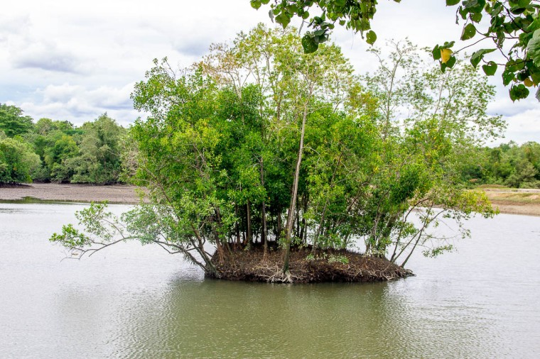 Mangrove at Migratory Bird Trail, Sungei Buloh Wetland Reserve, Kranji Countryside, Singapore