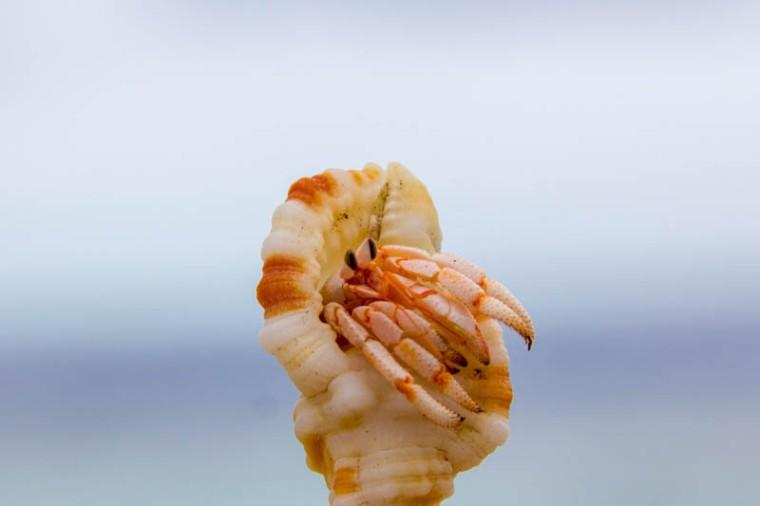 Hermit Crab in Hangnaameedhoo, Maldives